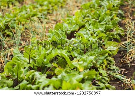 Beets in the garden. Good harvest beets.
