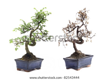 Before and After green and death bonsai tree Isolated on white background