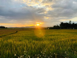 Before harvest season in Thailand Rice field in Thailand at sunset  with cloudy Sky and natural flare from the sun radius mountain as background