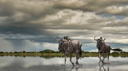 Before the thunderstorm, lightning forks and rejoins itself over the marsh lands, causing these two Wildebeest to hurry along to where they feel safe.