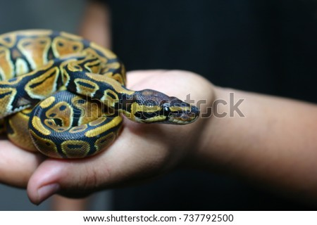 Beginner and popular snake for kids, Ball python (python regius) crawling on hand with selective focus and copy space, Background for exotic pets or animals and wildlife concept