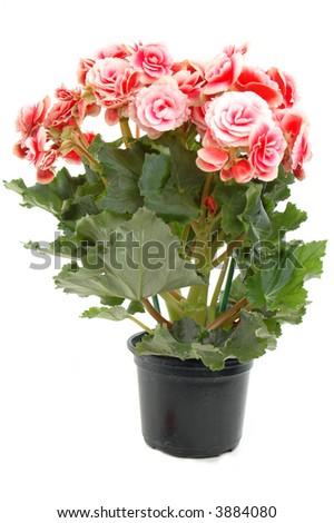 Begonia flowering plant - family Begoniaceae . #3884080