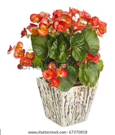 begonia in flowerpot isolated on white background - stock photo