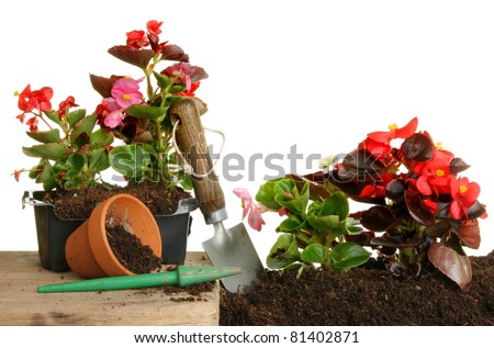 Begonia plants transplanted from containers into a flower bed