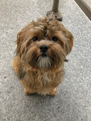 behaved small brown dog sitting