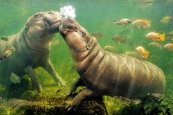 Behavior of pygmy hippo.