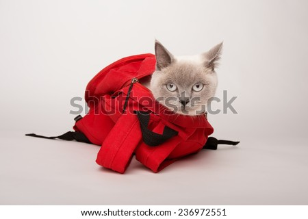 Beige cat in a red bag, photographed on a white background