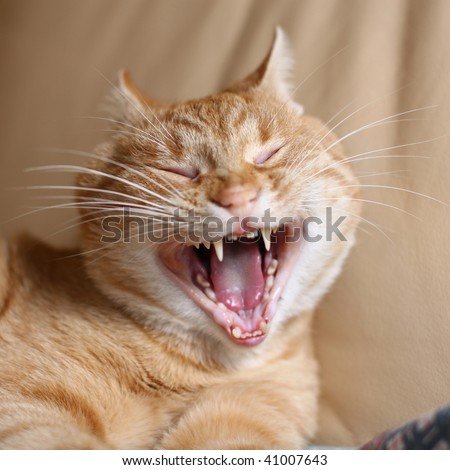 Beige cat with wide open mouth and closed eyes on the leather couch