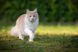 beige fawn maine coon cat on the move walking through the garden on a sunny day in front of a hedge