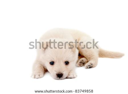 beige puppy on white background