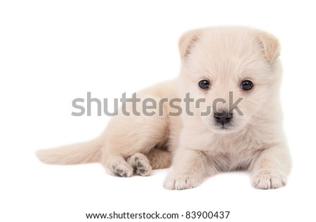 beige puppy on white background - stock photo