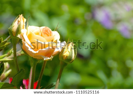 Beige roses growing in the garden on a green background