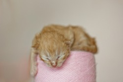 Beige, small, fluffy cute kitten on a ball of soft threads. One Week Old Newborn Cat with Closed Eyes, Kid Animals and Adorable Cat Concept