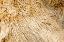 Beige wool texture background. Natural fluffy fur sheep wool skin texture. for background and wallpaper