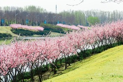 Beijing spring river flower and tree