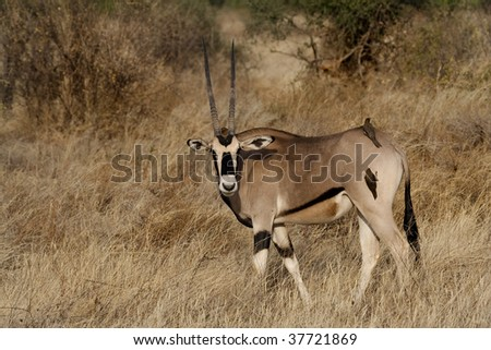 Beisa oryx with oxpeckers in Samburu