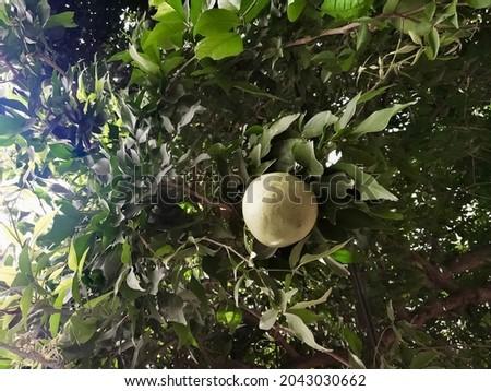 Bel fal, Maja fruit, Aegle Marmelos near Ludhiana punjab India.Makwid herb fruit, wood apple fruit on tree of Edible indian fruit of subcontinent asia. Stock fotó ©