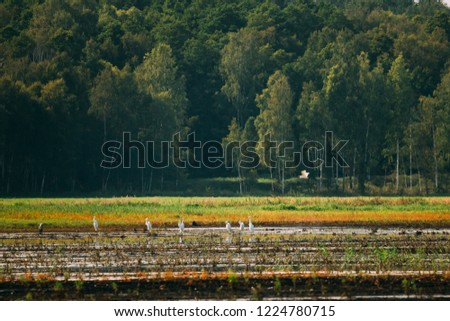 Belarus. Wild Birds Great Egrets Or Ardea Alba Nest In Swamp On A Summer Sunny Evening. This Wild Birds Also Known As The Common Egret, Large Egret, Or Great White Egret Or Great White Heron.