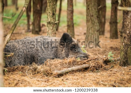 Belarus. Wild Boar Or Sus Scrofa, Also Known As The Wild Swine, Eurasian Wild Pig Resting Sleeping In Autumn Forest. Wild Boar Is A Suid Native To Much Of Eurasia, North Africa