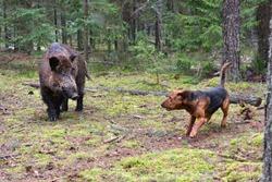 Belarusian Gonchak hound, a National dog breed of Belarus,  hunting on wild boar in green forest