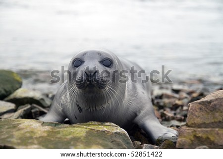 Belek baby harp seal Pagophilus groenlandicus in the White Sea, Gulf Kandalakshskom
