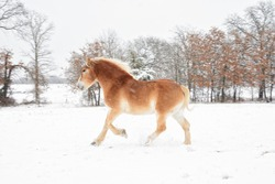 Belgian draft horse galloping in winter pasture in snowfall