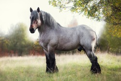 Belgian draft horse in summer field at sunset