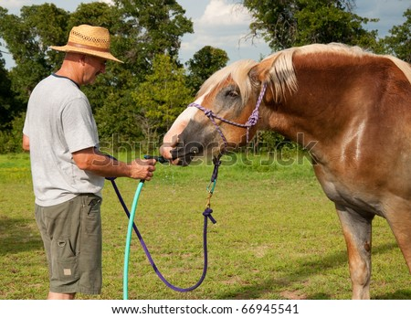 Belgian Draft horse stealing a drink of water from water hose while getting bathed with cool water on a hot summer day
