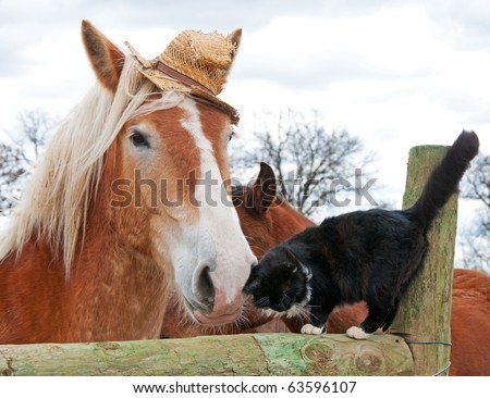 Belgian Draft horse wearing a silly worn out straw hat nuzzling with his tiny black and white kitty cat friend