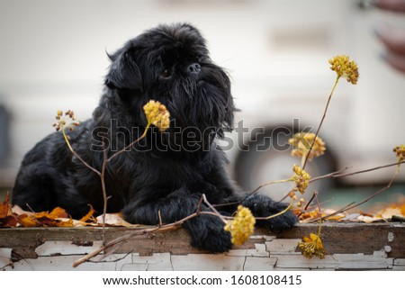 Belgian Griffon, a black, small, mysterious, mysterious dog, lying on an old platform, next to a yellow dry plant, outdoors in a park