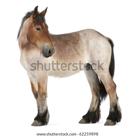 Belgian Heavy Horse foal, Brabancon, a draft horse breed, 13 months old, standing in front of white background