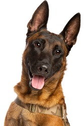 Belgian Malinois dog in front of a white background