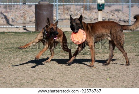 Belgian Malinois playing keep away with a frisbee