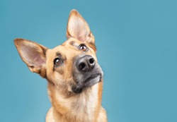 Belgian malinoise dog studio portraits on plain and coloured backgrounds