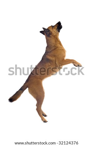 Belgian Shepherd Dog isolated on white background - stock photo