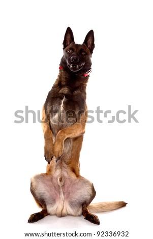 Belgian Shepherd Dog, Malinois, head shot isolated on white background