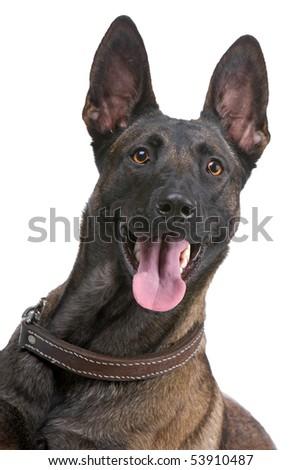 belgian shepherd dog, malinois, isolated on white - stock photo