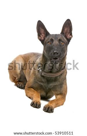 Belgian Shepherd Dog Malinois Royalty Free Stock Photography Image ...