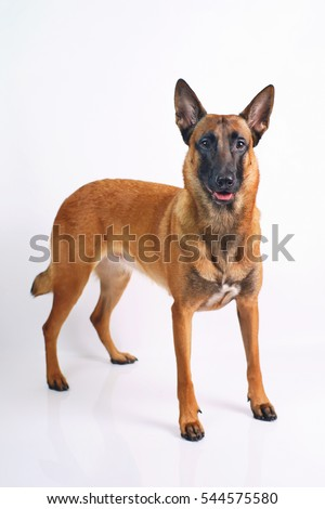 Belgian Shepherd dog Malinois standing on a white background