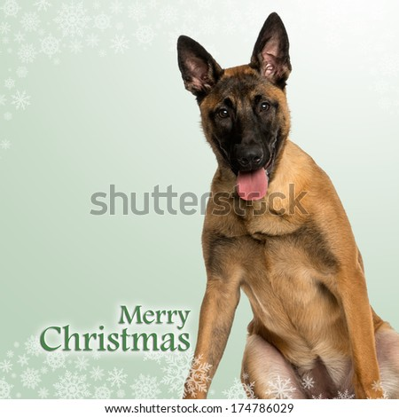 Belgian Shepherd Dog puppy panting, on a christmas background