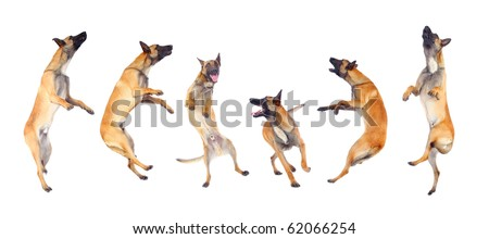 belgian shepherd dog running and jumping against white background