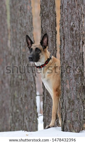 Belgian Shepherd  Malinois dog on a background of a beautiful winter forest, winter forest, snowy forest