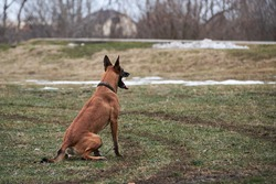 Belgian Shepherd Malinois sits in clearing and rests. Walk with serious breed of dog after workout in park.