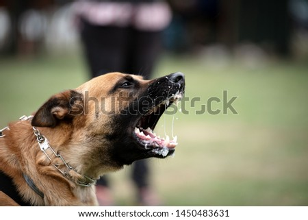 Belgian shepherd protection work dog sport  #1450483631