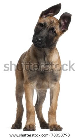 Belgian Shepherd Puppy Availabledog Belgian Shepherd Tervuren Pictures ...