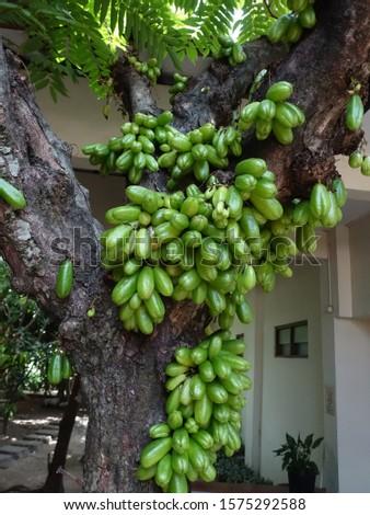 Belimbing wuluh, or averrhoa bilimbi is green fruit with sour taste