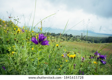 Bell flowers on the background of a mountain meadow, cloudy summer day