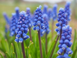 Bell-shaped blue flowers, with a white fringe, of Muscari armeniacum surrounded by green basal leaves, close up. Known as Armenian grape hyacinth or garden grape-hyacinth in the family Asparagaceae.
