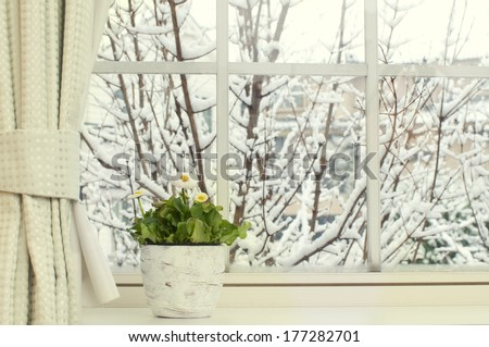 Bellis flowers in a pot on a window in a  snowy day