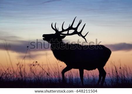 Bellowing elk dawn